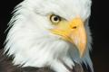 2700855600-bald-eagle-723540_1920-0o5-480x320-MM-100.jpg