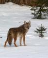 coyote-57490_1920.jpg