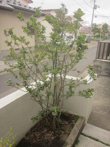 チョコベリーアロニア 猫と園芸