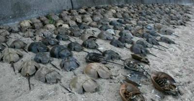 カブトガニ謎の大量死