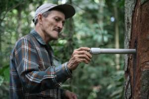 Copaiba_extracción-Copaiba del Amazonas