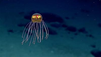 new-jellyfish-mariana-trench-1.jpg