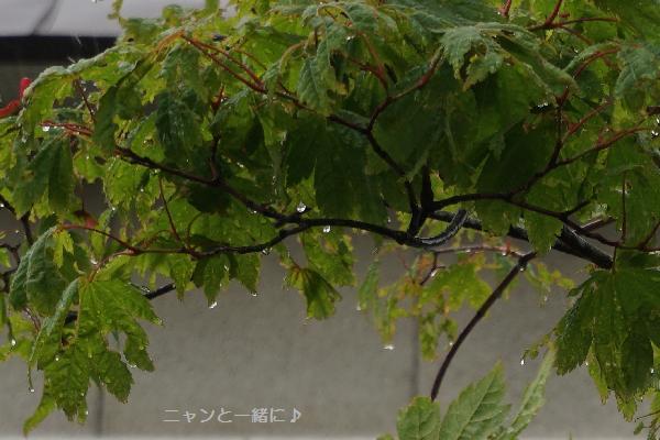 もみじ69雨