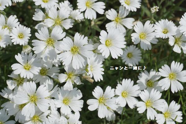 siroihanagiza66.jpg
