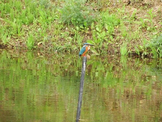 ついにふれあい池でカワセミ撮影!