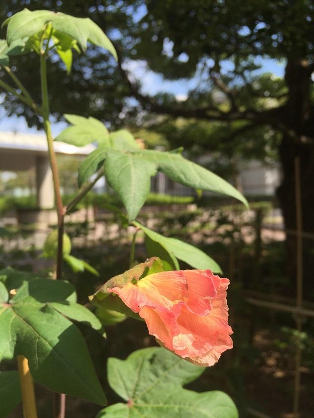 赤い綿の花!
