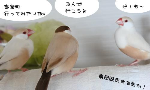 文鳥の歌4曲と弥冨の動画_2