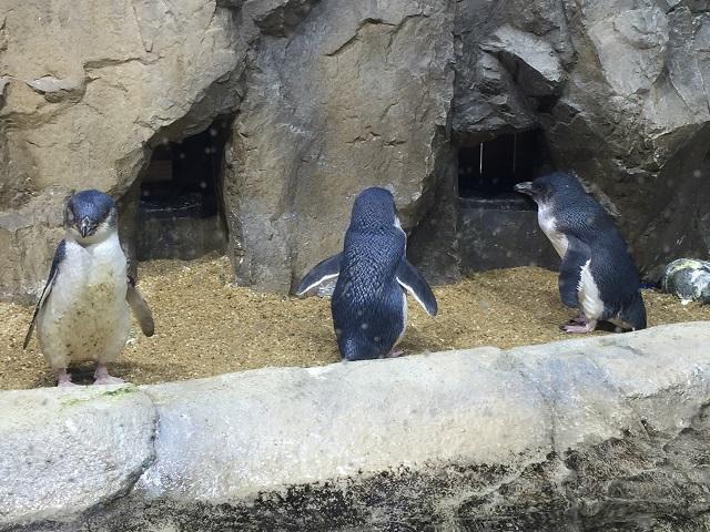 仙台うみの杜水族館 ペンギン4