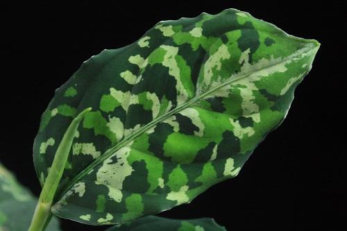 Aglaonema pictum tricolor NO NAME 09