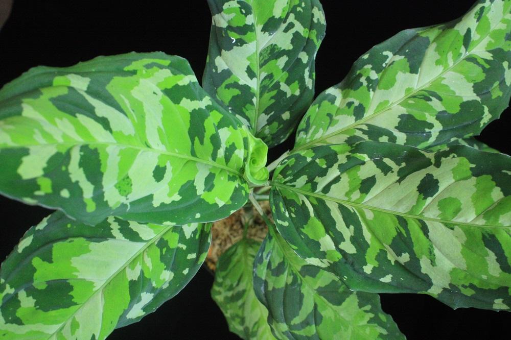 アグラオネマ ピクタム トリカラー ノーネーム[Aglaonema pictum tricolor
