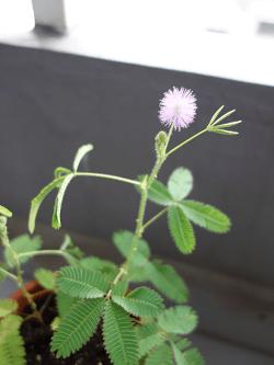 おじぎ草のお花