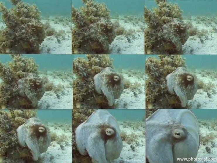 mimic-octopus2.jpg