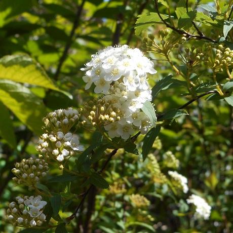 コデマリの花①20160417