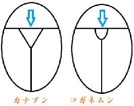 ②カナブン と コガネムシ