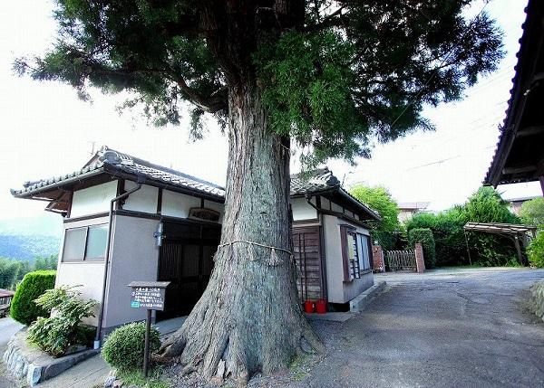 浄楽堂傍の一本杉の巨木