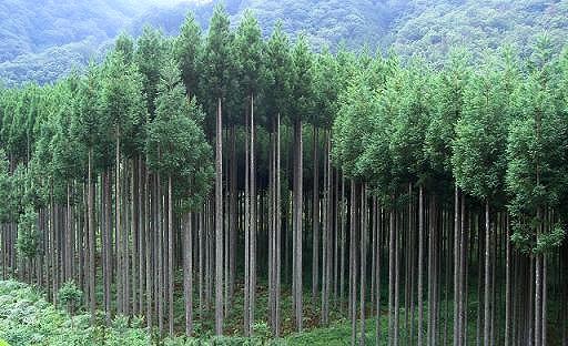 美しい北山杉の並木