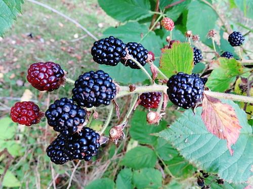 フィンランド 庭 秋 ブラックベリー Karhunvatukka Blackberry