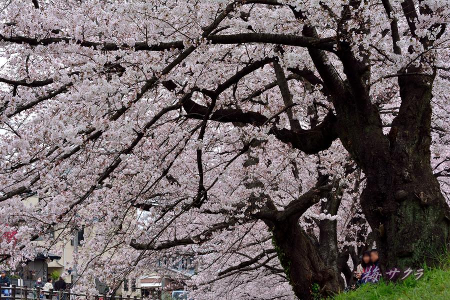 小江戸川越桜祭り1(誉桜1)変更済