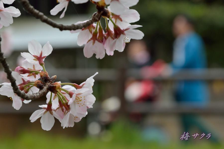 小江戸川越桜祭り1(誉桜3)変更済