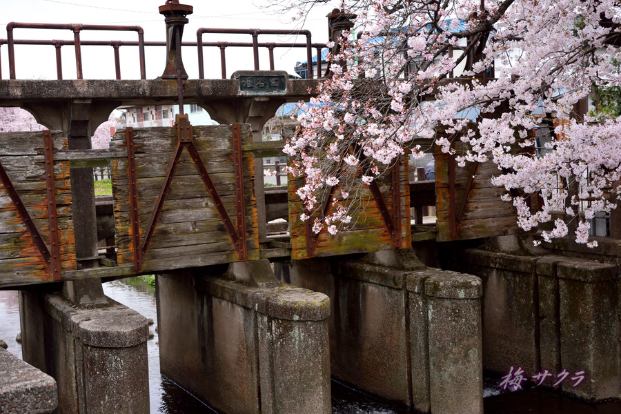 小江戸川越桜祭り1(誉桜6)変更済