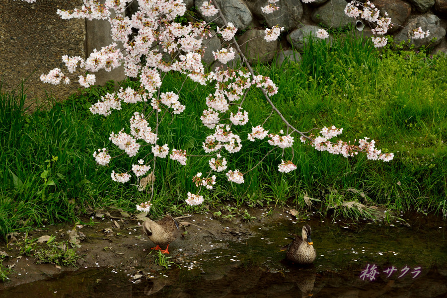 小江戸川越桜祭り1(誉桜9)変更済