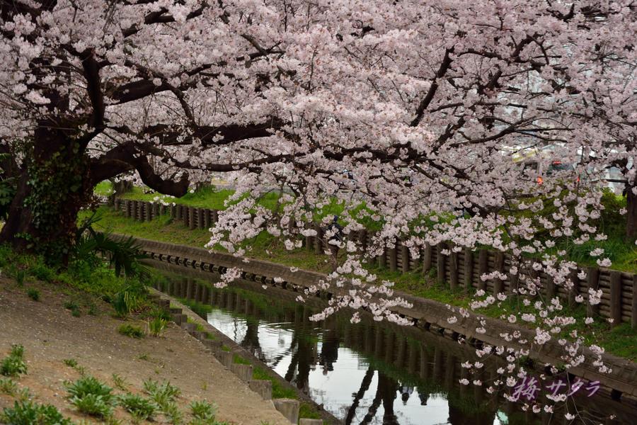 小江戸川越桜祭り1(誉桜11)変更済