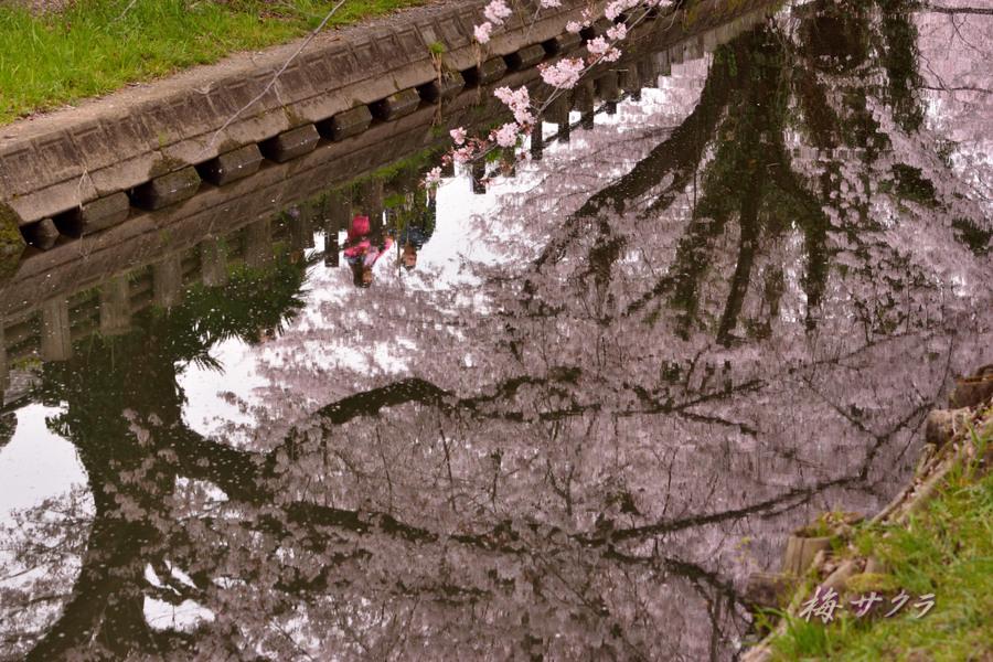小江戸川越桜祭り2(4)変更済