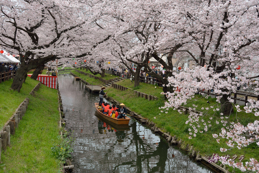 小江戸川越桜祭り3(6)変更済