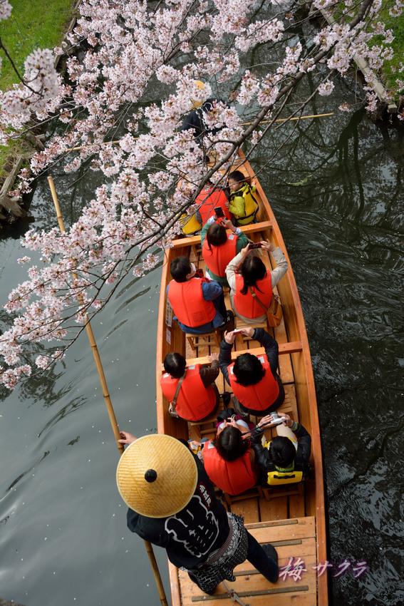 小江戸川越桜祭り3(9)変更済