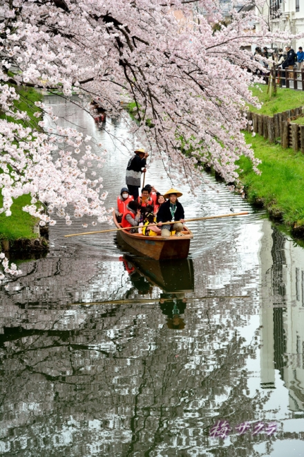 小江戸川越桜祭り3(2-1)変更済