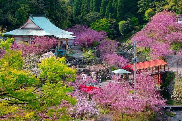 桜の雲海一心寺 2