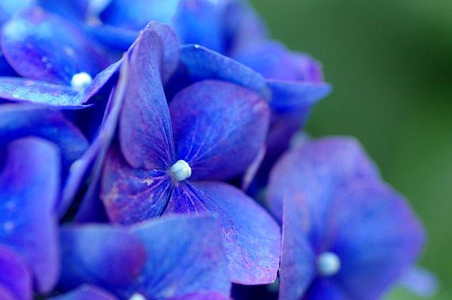 マクロで紫陽花