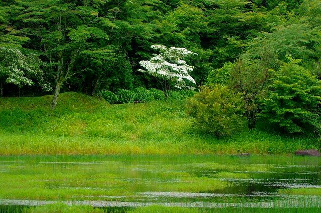 池のほとりのヤマボウシ