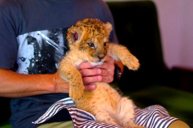 ライオンの赤ちゃん りいちろう君(オス)