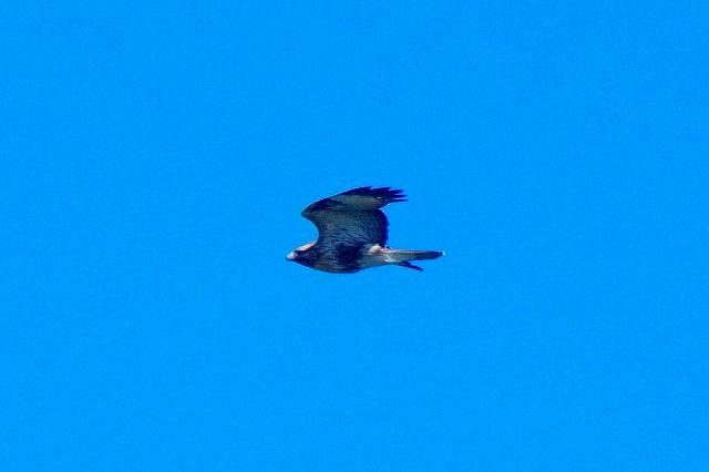 猛禽天国 ノスリ、ハイタカ