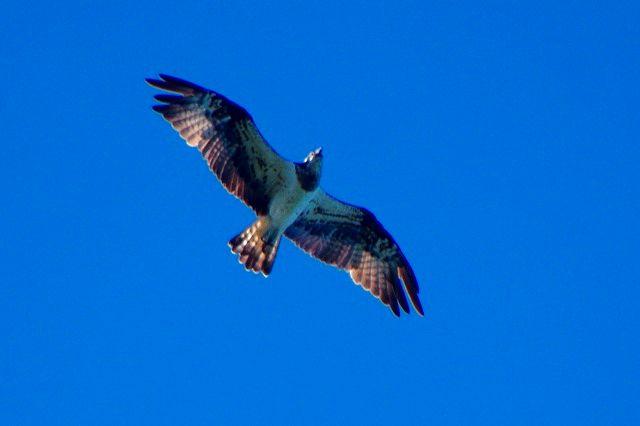 猛禽天国 オスプレイ(和名ミサゴ)
