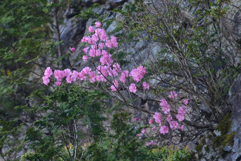 「岩場に咲くアケボノツツジ1」 (徳島県上勝町)
