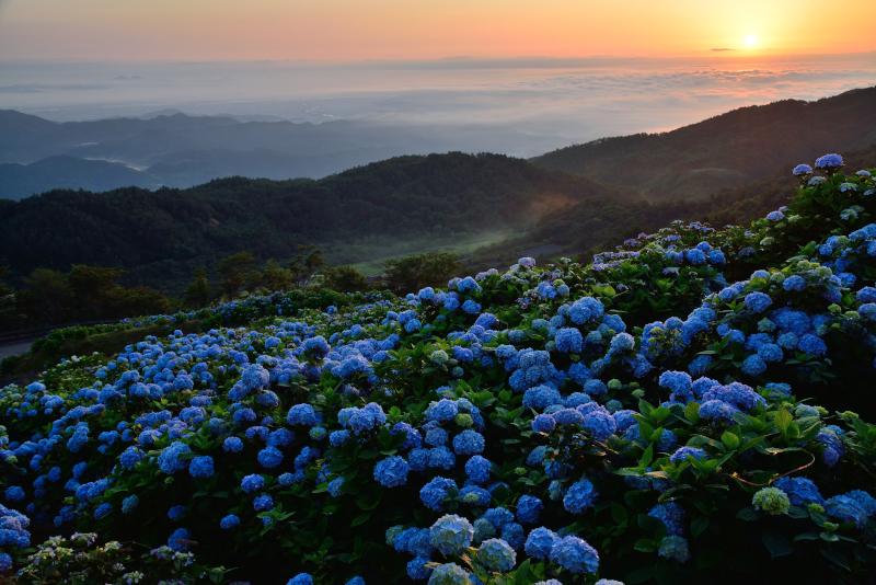 「夜明けのあじさい高原」
