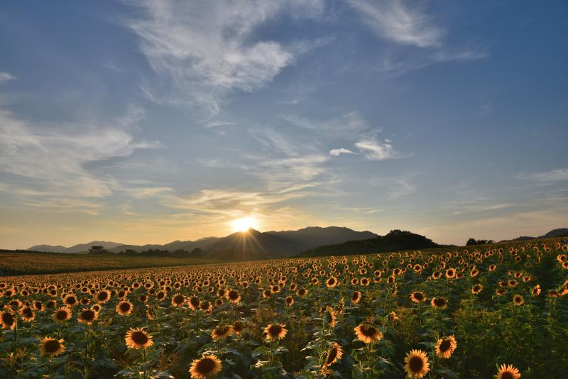「日没のひまわり畑」