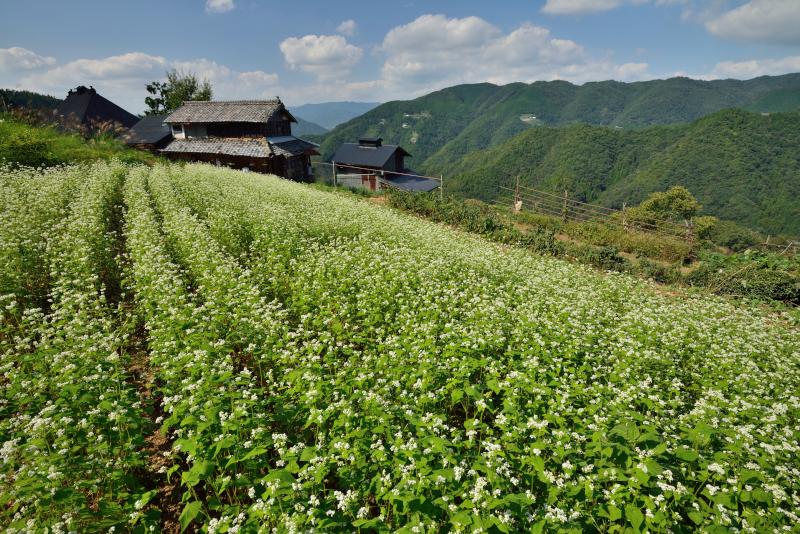 「秋色山村蕎麦畑」