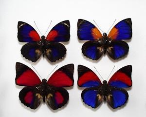 アグリアス蝶