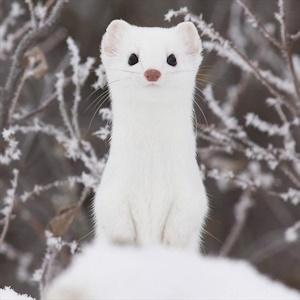 冬毛のオコジョ