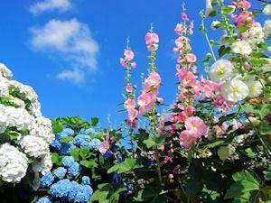 紫陽花と立葵