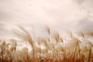 秋風にたなびくススキ