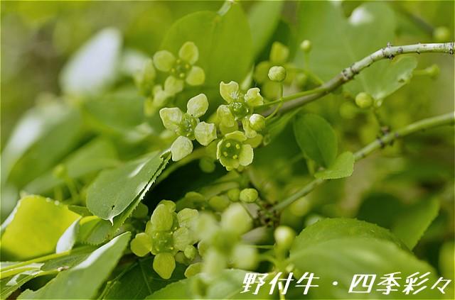 s-P20160526-ニシキギ-0