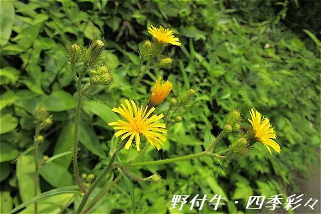 s-C20160726-コウゾリナ-0