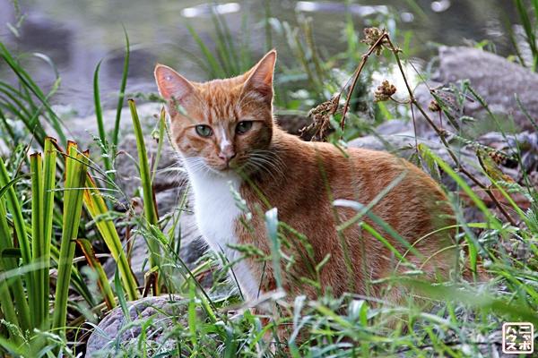 チャトラ猫さん