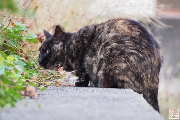 マーブル 猫