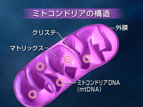 mitochondria01.jpg