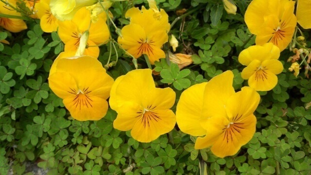 【ミーママの実家の庭の花】
